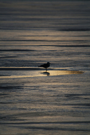Gull on ice