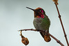 Hummingbird Setting on Branch