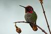 Hummingbird Setting on Branch