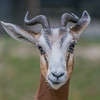 Mhorr gazelle (Nanger dama mhorr)