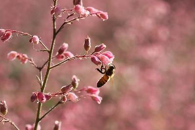 Beeing Pink UCDavis, CA, US
