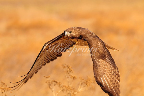 Autumn hawk
