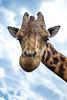 JHP 20160505-505 giraffe head