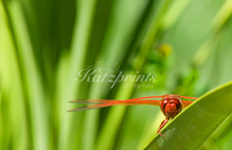 Eye to eye with a flame skimmer dragonfly
