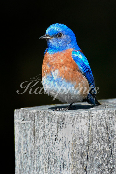 A male Western Bluebird sits on a fence post in California. This is one of my best-selling photographs at art shows around California - the little guy just seems to speak to people. You may notice that only one leg is visible in the photo. This is a typical resting position, he does have both legs intact.