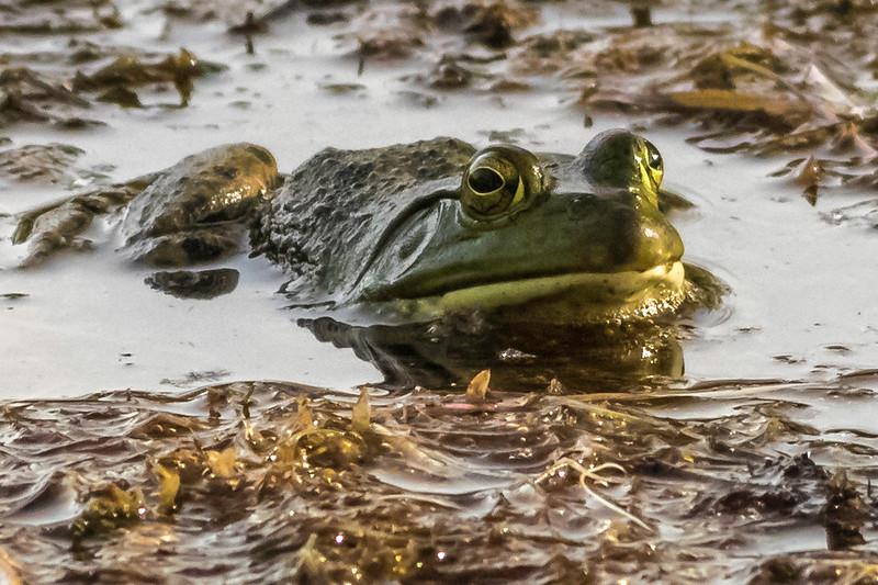 Resting Bull Frog