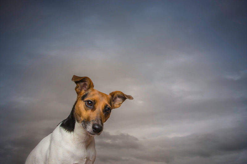 Jack Russell Terrier with an inquisitive expression.