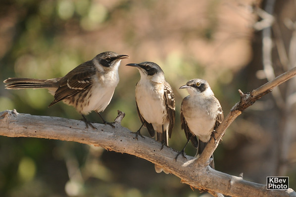 The hang-out spot (Mockingbirds) (Galapagos, 2009)