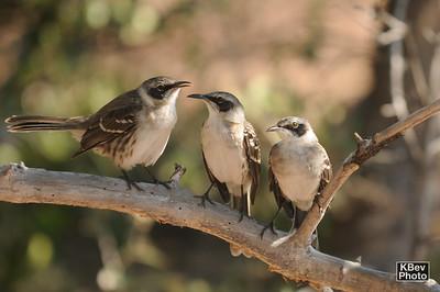 The hang-out spot (Mockingbirds) (Galapagos, 2009)