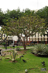Stange leaves (zoom it and see why this tree photo in here) (Guayaquil, 2009)