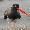 On the Prowl (American Oyster Catcher) (Galapagos, 2009)