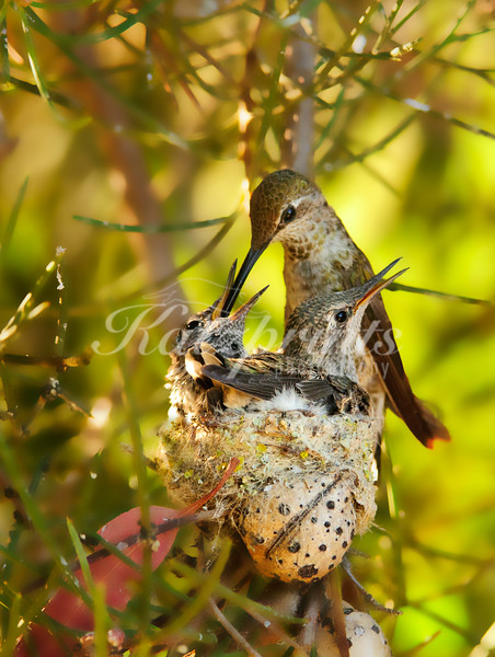 Hummingbird family