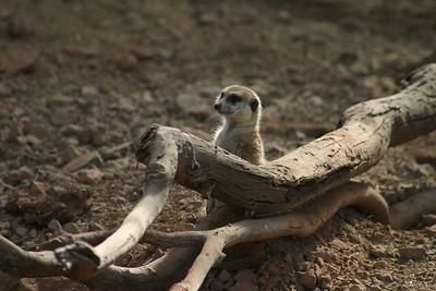 Phoenix Zoo Meerkat