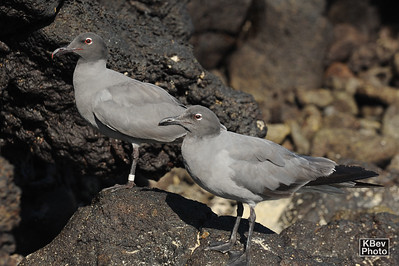 Happy Couple (Galapagos, 2009)
