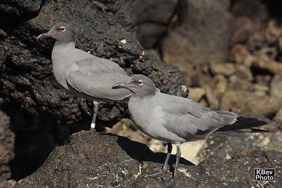 Happy Couple (Galapagos, 2009)