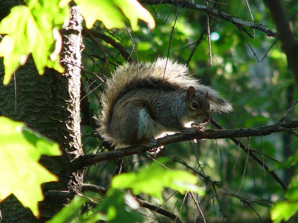 Mount-Royal-Park:Squirrel;Parc-Du-Mont-Royal:Ecureuil