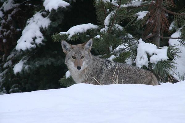 Coyote In Snow El Dorado County, CA, US