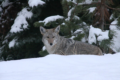 Coyote In Snow El Dorado County, CA, US