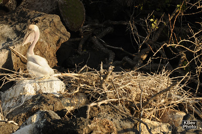 Playing in the yard (baby brown pelican near nest) (Galapagos, 2009)
