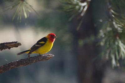 Curious Western Tanager