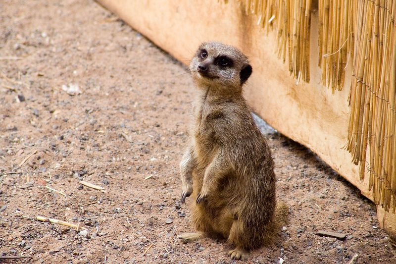 "A Meerkat stands by the door in Chester Zoo, 28th August 2005. They have just been put in their night enclosure.  Further Meerkat photos can be found <a href=""http://www.lukechurchphotography.com/gallery/1370603"">here</a>"