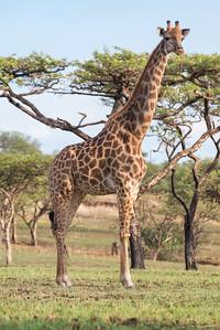 Spioenkop giraffe
