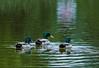 Swimming Mallards
