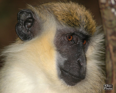 Barbados Monkey Reserve (2006)