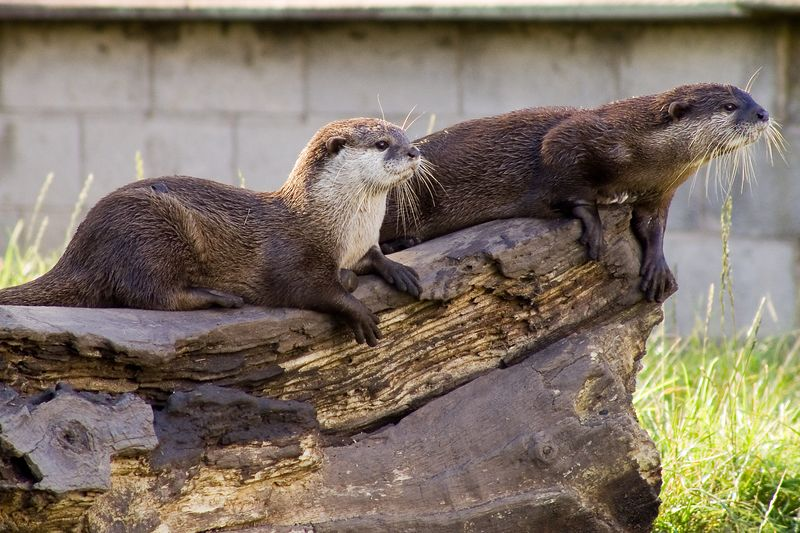 Two otters (Aonyx Cinerea) relax on a log in Chester Zoo. Taken on the 28th of August 2005
