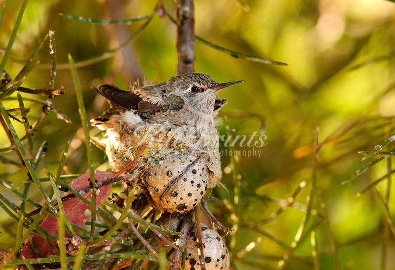 Hummingbird chicks are waiting for food
