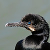 Blue-eyed cormorant portrait
