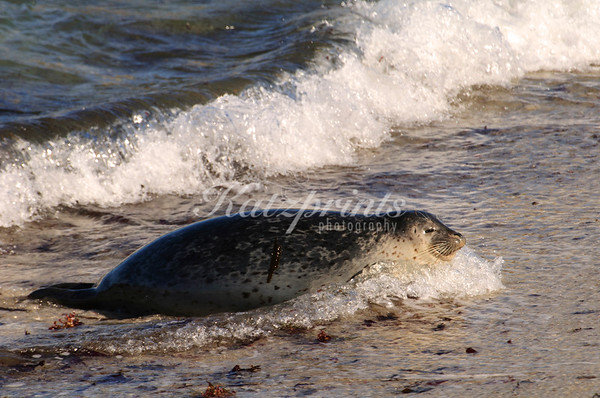 Harbor seal in surf