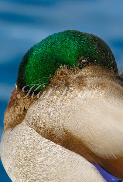Male mallard close-up