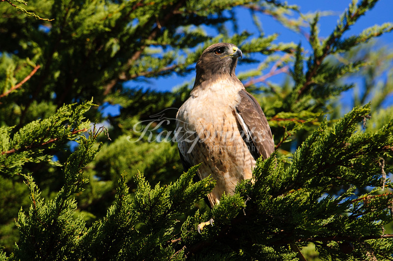 A red-tailed hawk is sitting in a tree above a meadow, waiting for prey to emerge