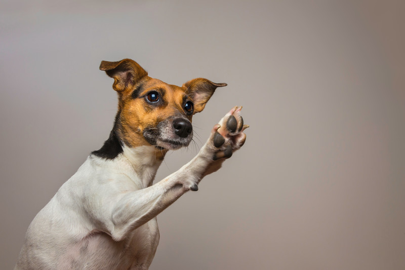 Little dog giving a High-five.