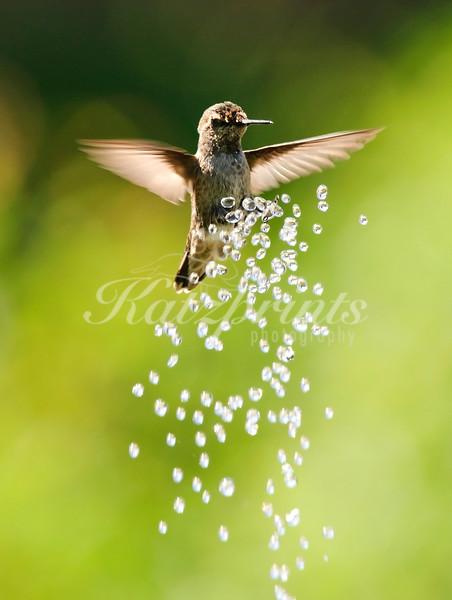Bellyrub a la Kolibri