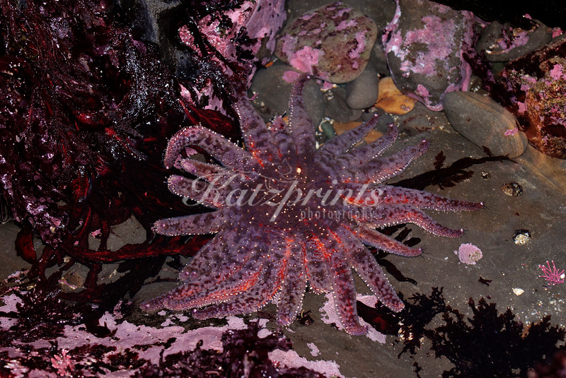 A sunflower star, largest sea star in the world, can be seen in a tidepool at very low tide near Half Moon Bay.