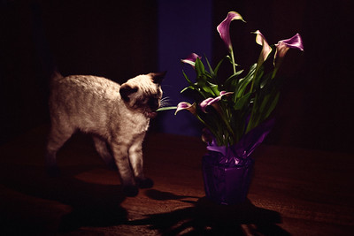 218/365 Cat-a-lily - © Simpson Brothers Photography