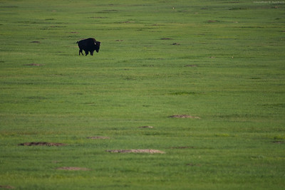Bison on the Grasslands