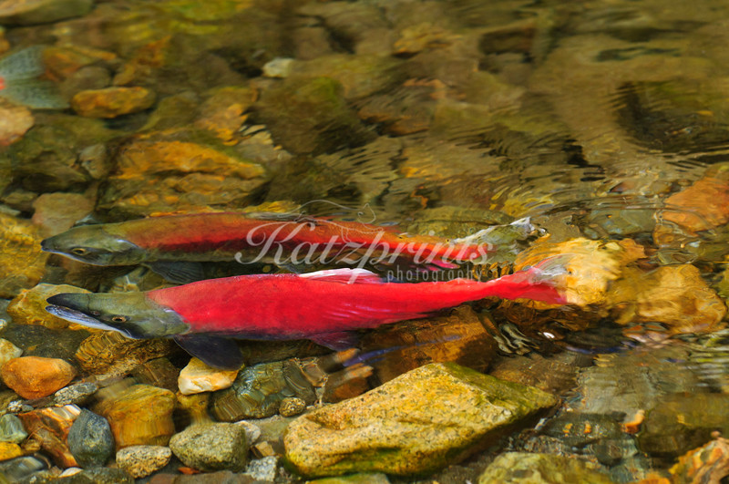 A male and female Kokanee salmon during spawning season
