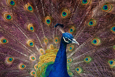 Peacock iridescence