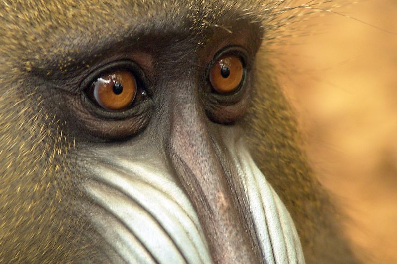 A Mandrill (Mandrillus sphinx) looks out at the visitors. These Mandrills have now been removed from the public area of the zoo while a study is conducted as to whether the visitors have changed their behaviour. Sadly it seems likely... An alternative crop is also available
