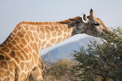 Erindi giraffe