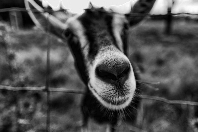 Got your goat - Elmore, VT