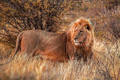 Erindi lion II