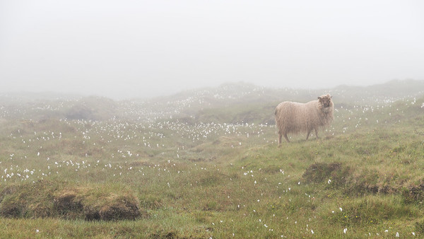 Foggy sheep