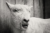IMG_0824 BW sheep
