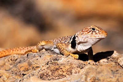 Great Basin Collared Lizard - Burr Trail - Utah