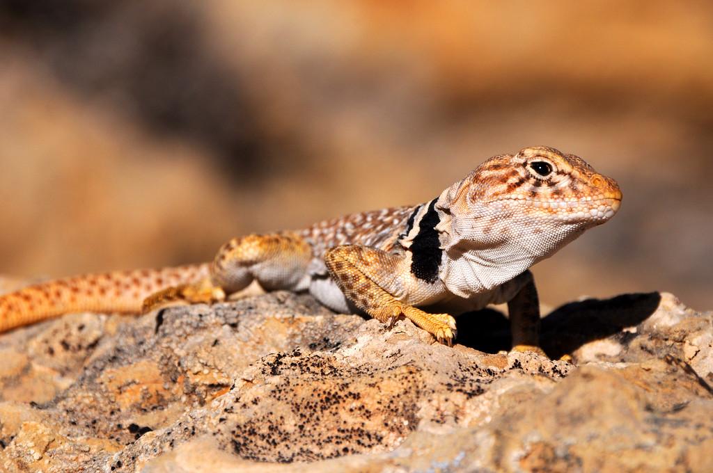 Great Basin Collared Lizard - Burr Trail - Utah