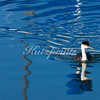 Western Grebe reflection